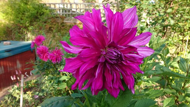 A wonderful dahlia in my garden last year